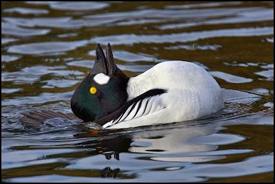 Pato en el agua.