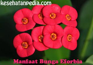 Manfaat Bunga Eforbia
