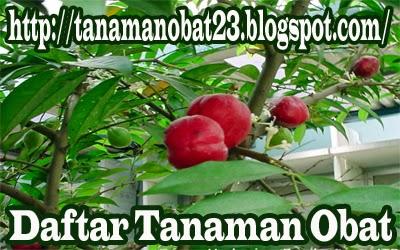 Tanaman Obat Mahkota Dewa (Phaleria macrocarp