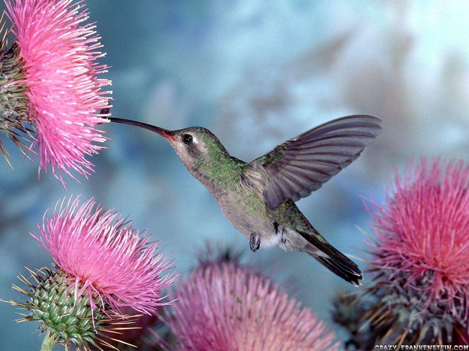 http://1.bp.blogspot.com/-QLiWja_1Lbw/Ti1xxcuMhCI/AAAAAAAAMbg/QpPzjhOh2aM/s1600/hummingbird%2Bwallpaper-3.jpg