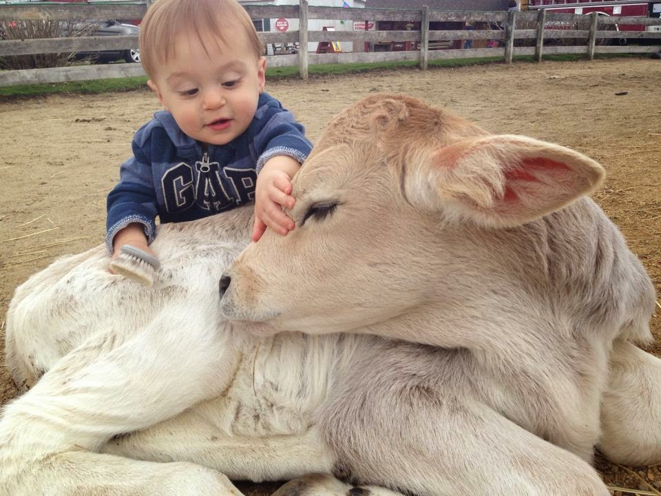 Funny animals of the week - 9 May 2014 (40 pics), cute animals, animal photos, baby cow being brushed by human baby