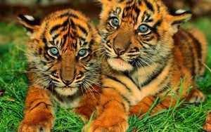 Los tigres en los sueños