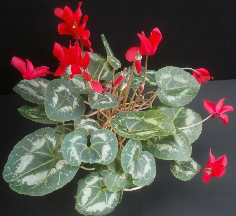 list houseplants that have red flowers - Red Flowering House Plants