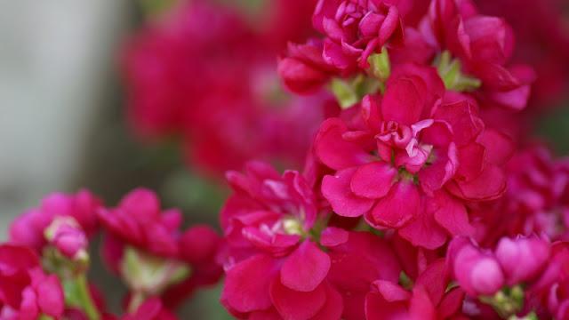 أجمل صور الورد , صور ورد جميل , ورود بجودة عالية