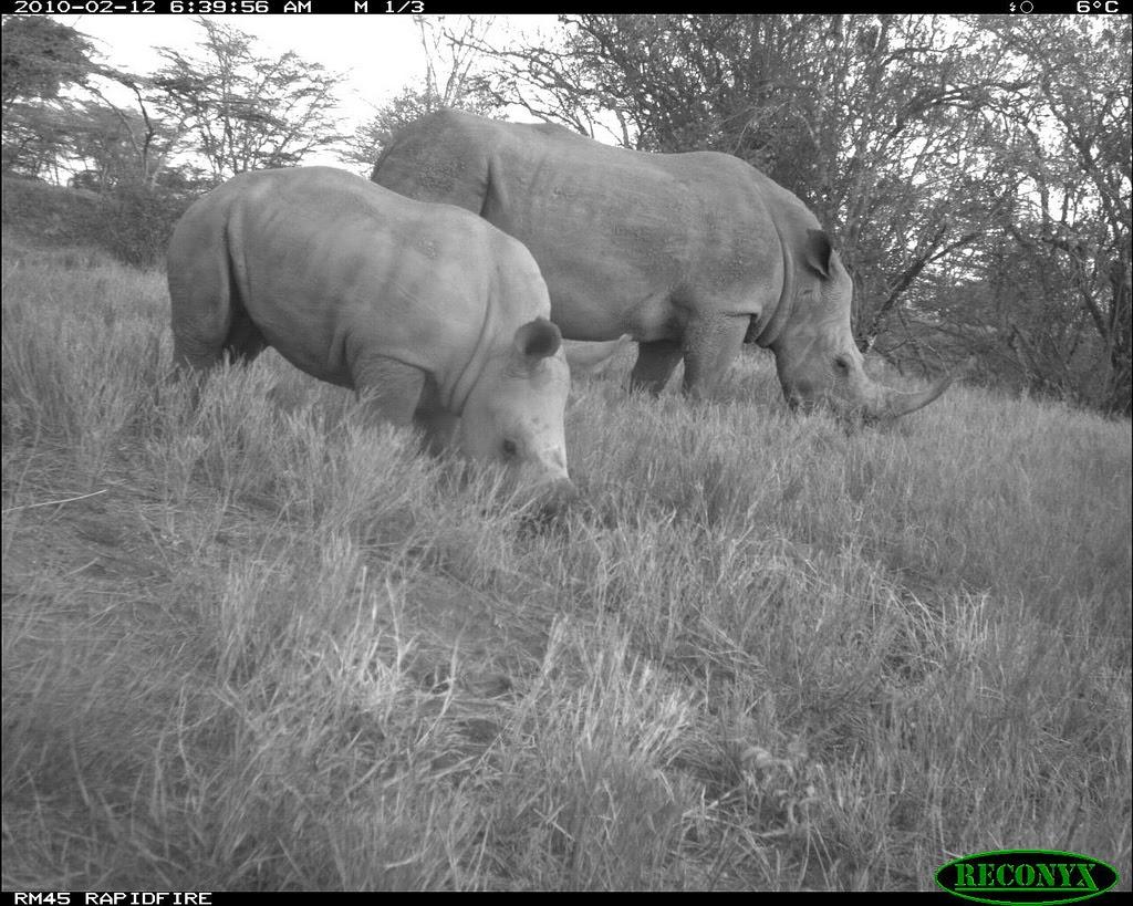two black rhinoceros