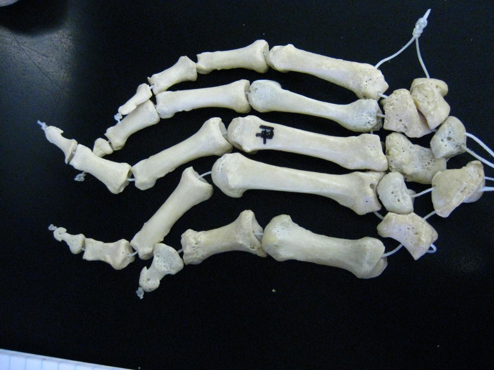 Boned Human Skeleton Hand