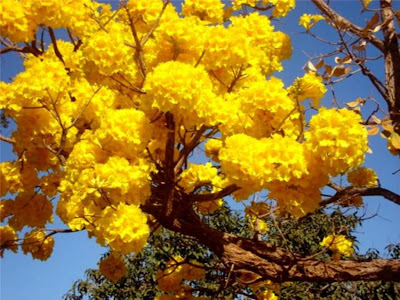 Ipê amarelo - foto de Elma Carneiro em agosto de 2008