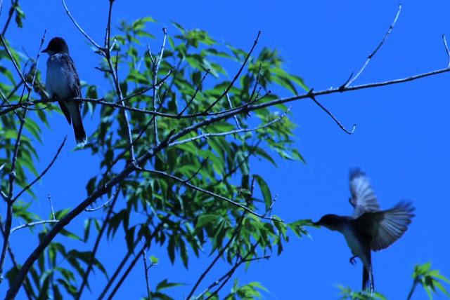 eastern kingbird flutter