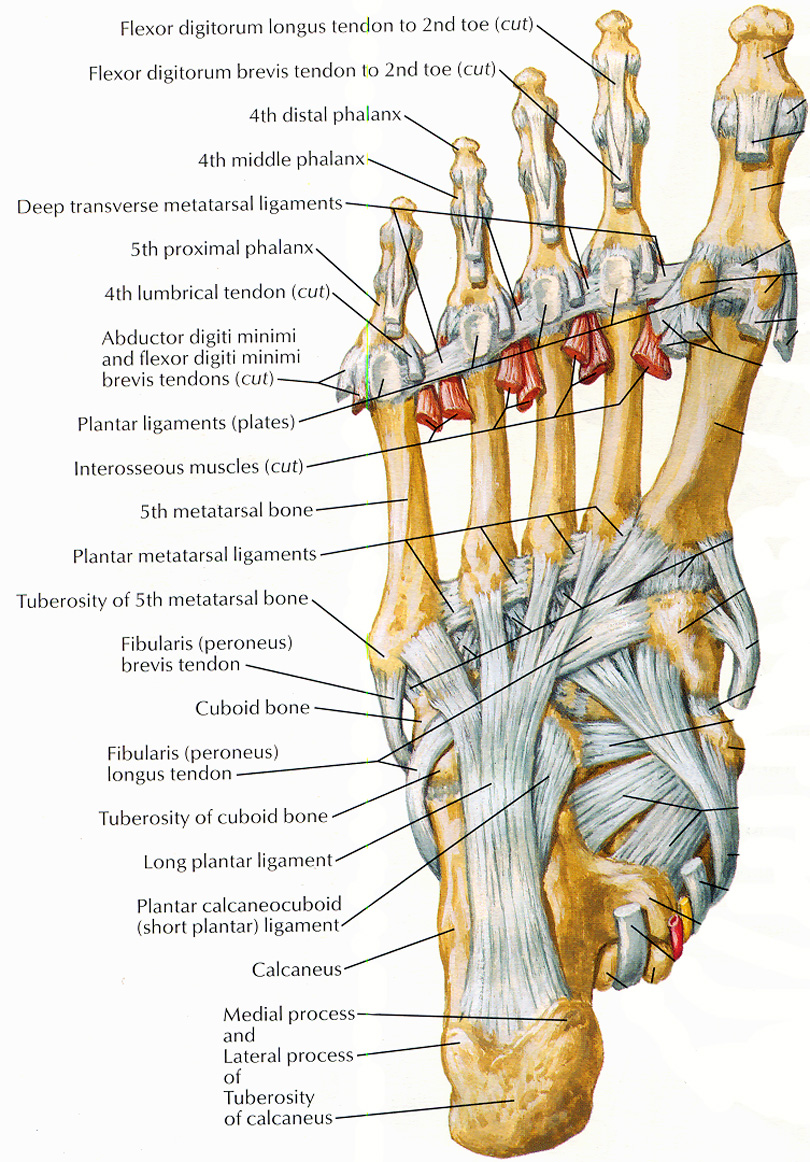 Toe Ligament Diagram - Search For Wiring Diagrams •