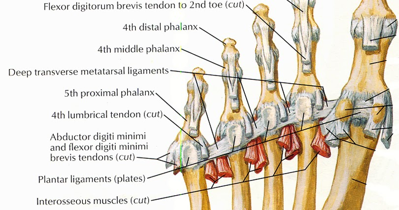 Toe anatomy ligaments