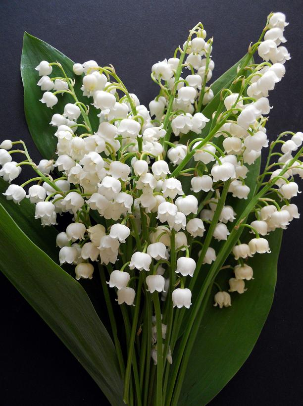 Convallaria Majalis 'Lily of the Valley' by May Lis Birchall