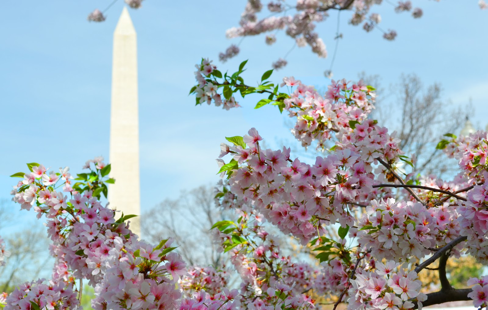cherry blossoms dating banned country