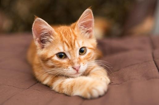 Badanie krwi u kotów