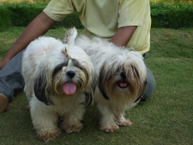 Cute Puppy Dogs Cute Shih Tzu Puppies