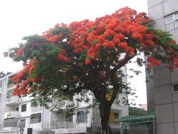 Flaming Tree of the Forest