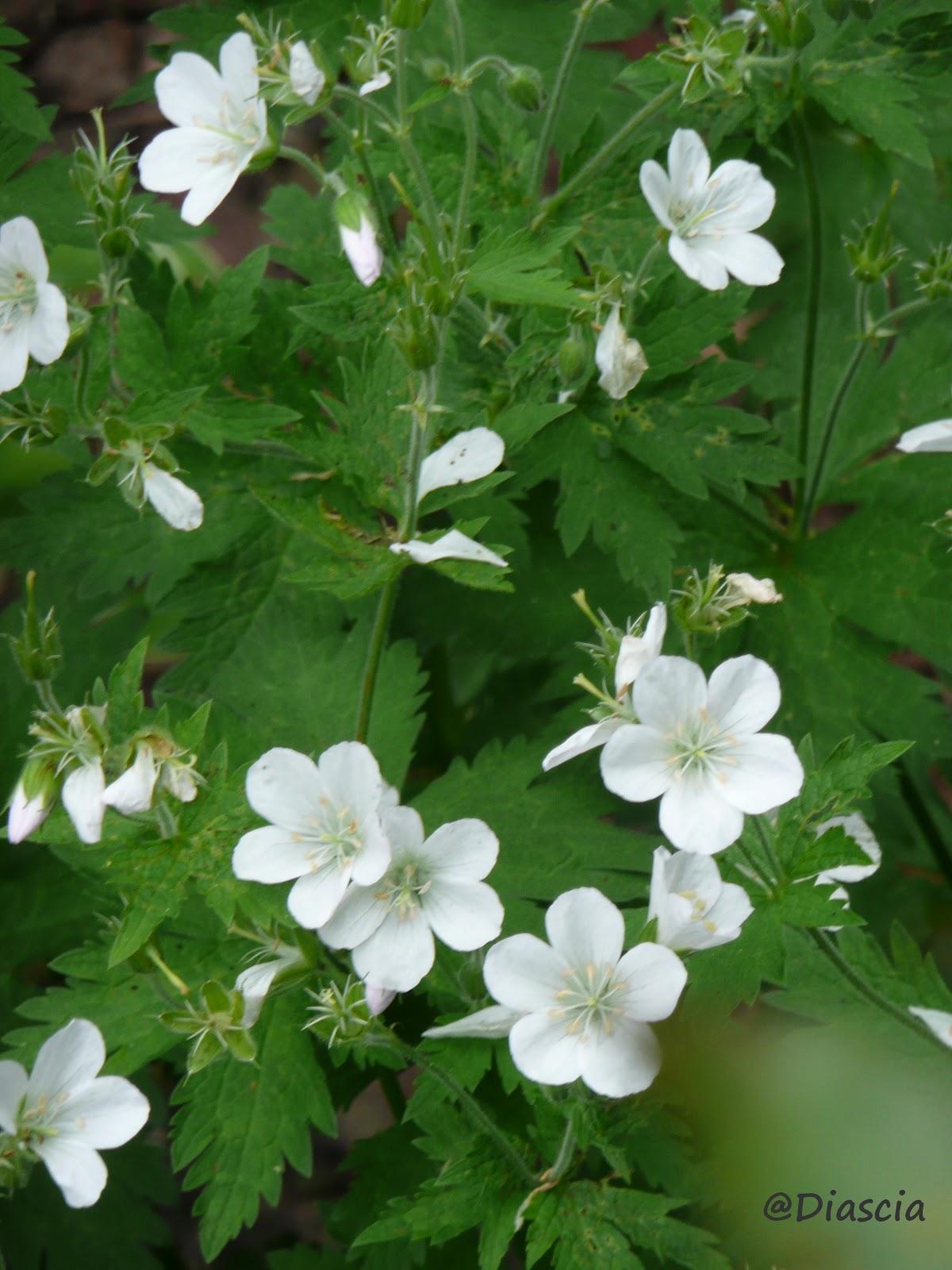 Le jardin de diascia geranium sylvaticum for Jardin de fleurs blanches