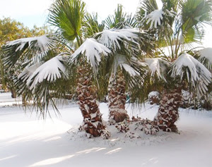 "Songs of Eretz Poetry Review: Poem of the Day: ""Winter Weary Palm Trees"" by Lauren McBride"