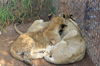 Lion World Cubs