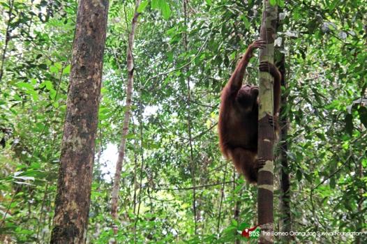 Tiga Orangutan dikembalikan ke habitatnya