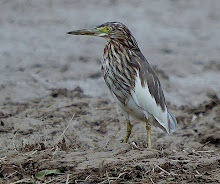 Chinese Pond Heron_2011