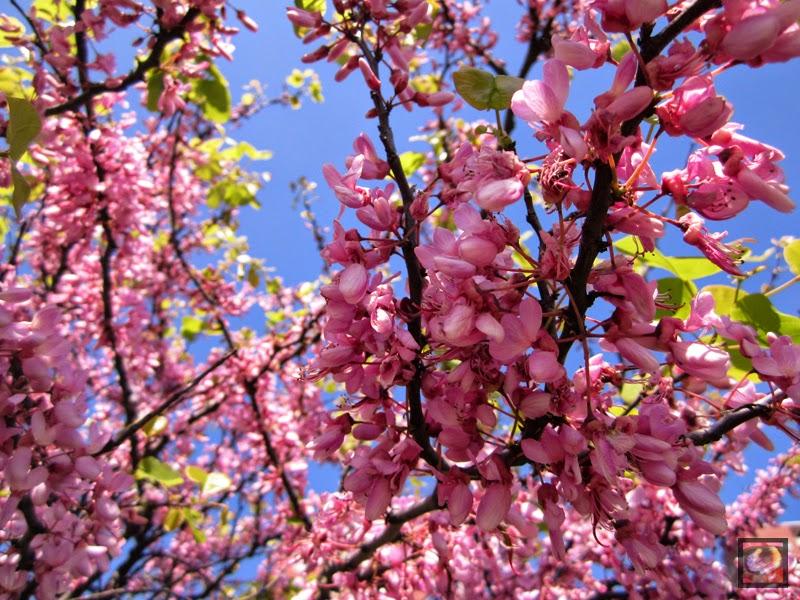Cercis siliquastrum (árbol del amor, árbol de Judea o de Judas)