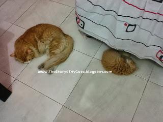 anak kucing jantan dan pejantan