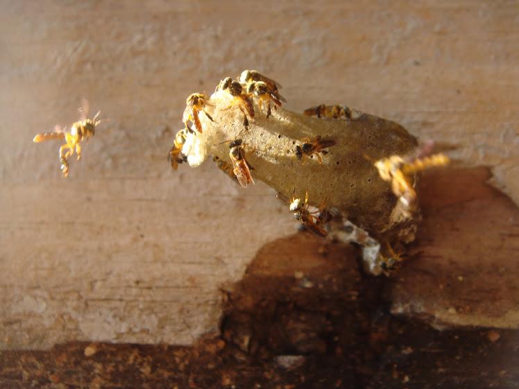Nossas abelhas sem ferrão