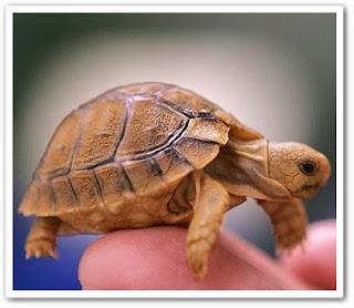 видео онлайн Черепаха - домашнее животное