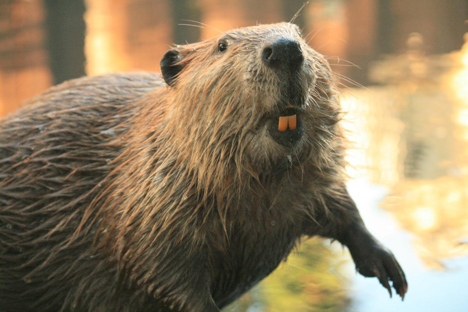 Thank you Beaver! | Gypsy Moon's