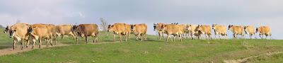 http://www.sugarbushfarm.net/cows.htm