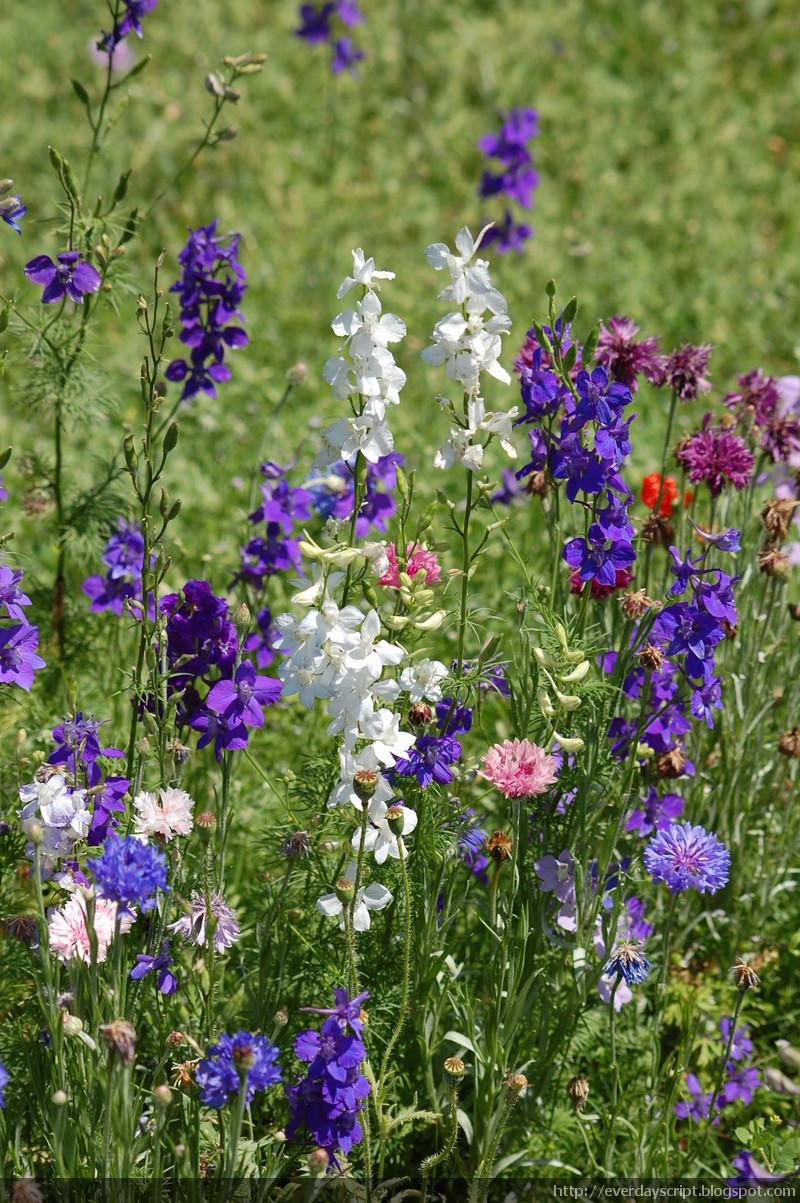 Everyday Script Wild Flowers Blue Bonnet Field At Dallas