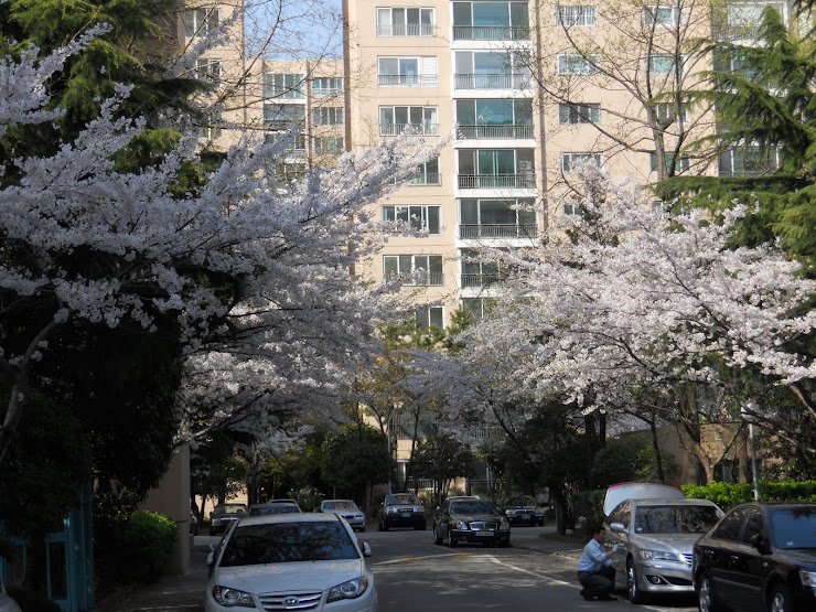 April 9, 2011 Cherry blossom near our apartment.
