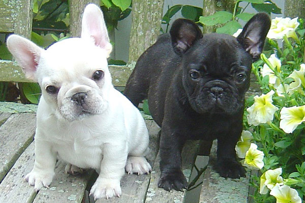 French Bulldog or Frenchie | Australian Dog Lover