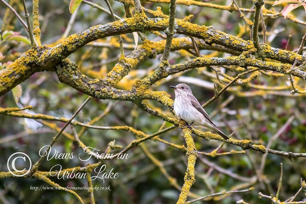 Spotted Flycatcher - Wolverton Mill, Milton Keynes