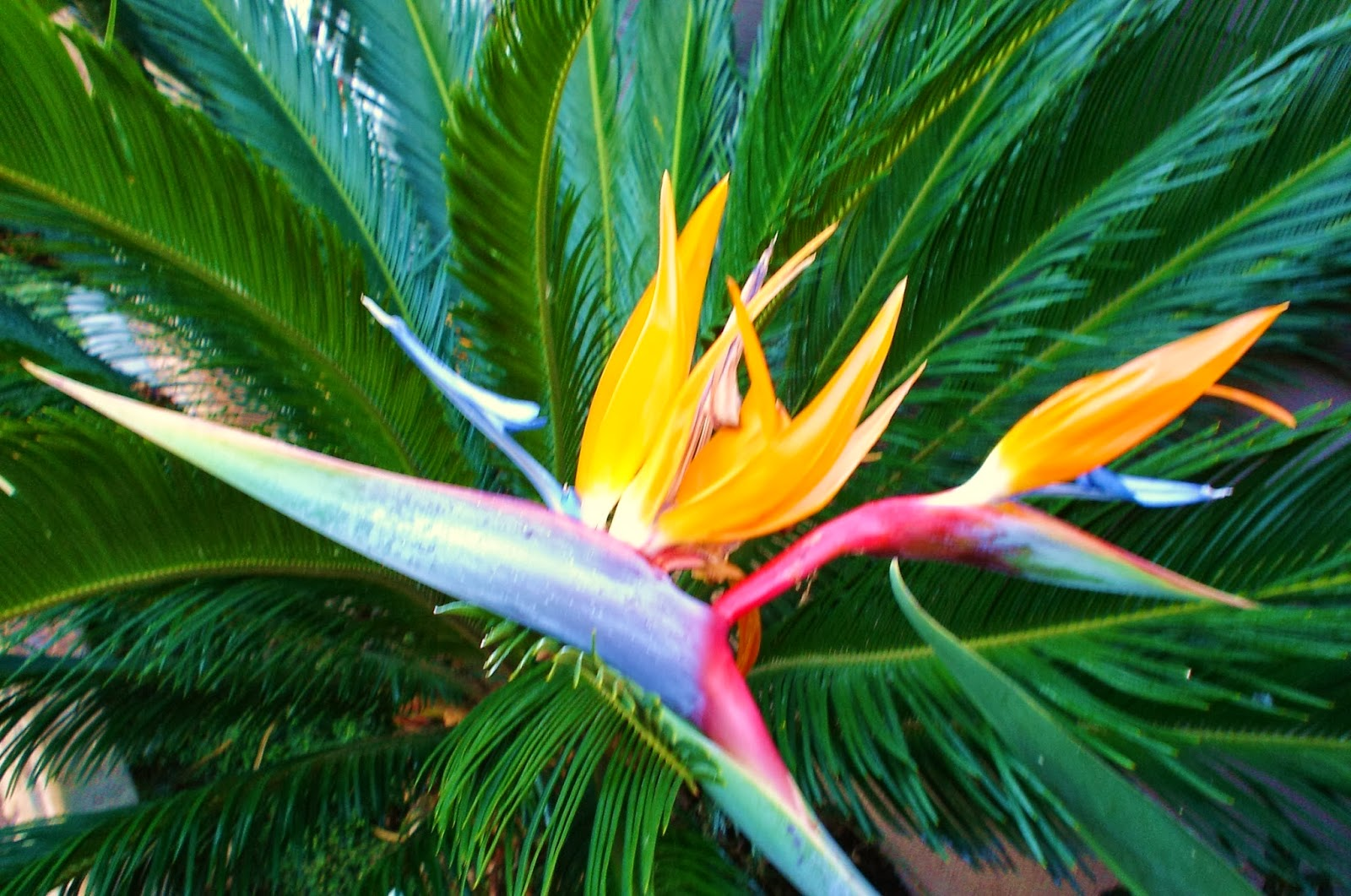 Bird of paradise wallpapers hd - Hd images of birds of paradise ...
