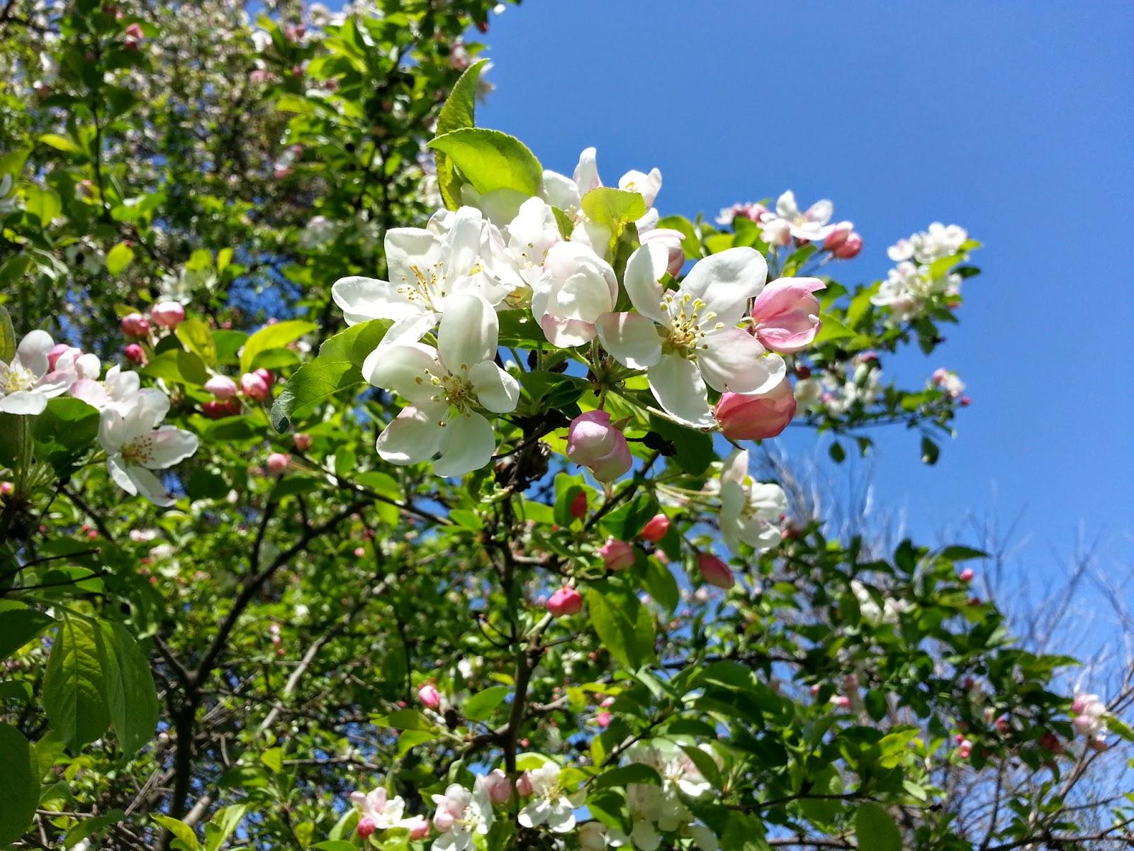 Naapurin omenapuu
