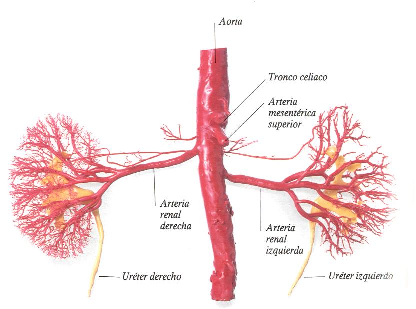 Circulaciones esplácnica y renal