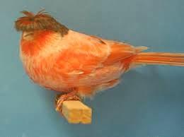 Sejarah Dan Keistimewaan Kenari Jambul (Crested Canary)