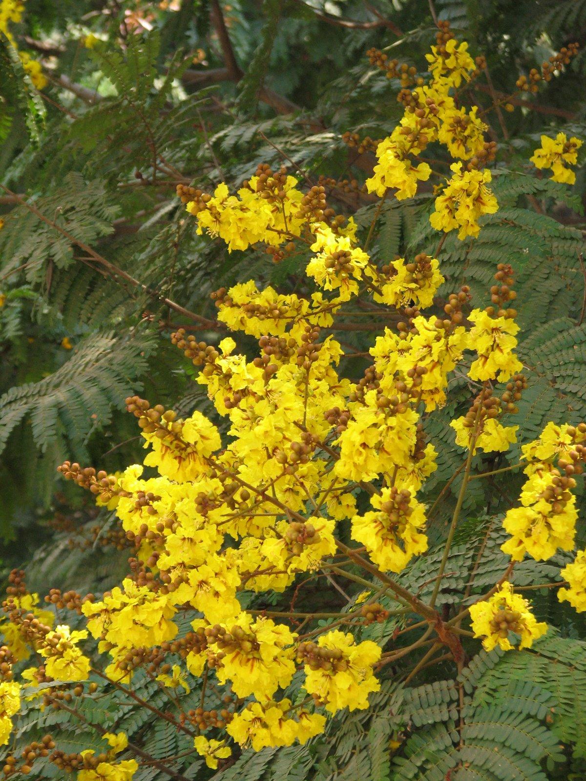 The grey nomads forum peltophorumpterocarpum yellowflametree252ccopperpodg mightylinksfo