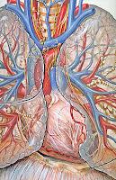 corazon humano
