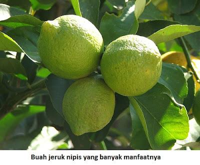 gambar jeruk nipis