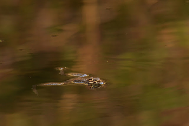 wood frog floating in a vernal pool