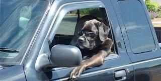 Cão conduz Jipe em grande estilo
