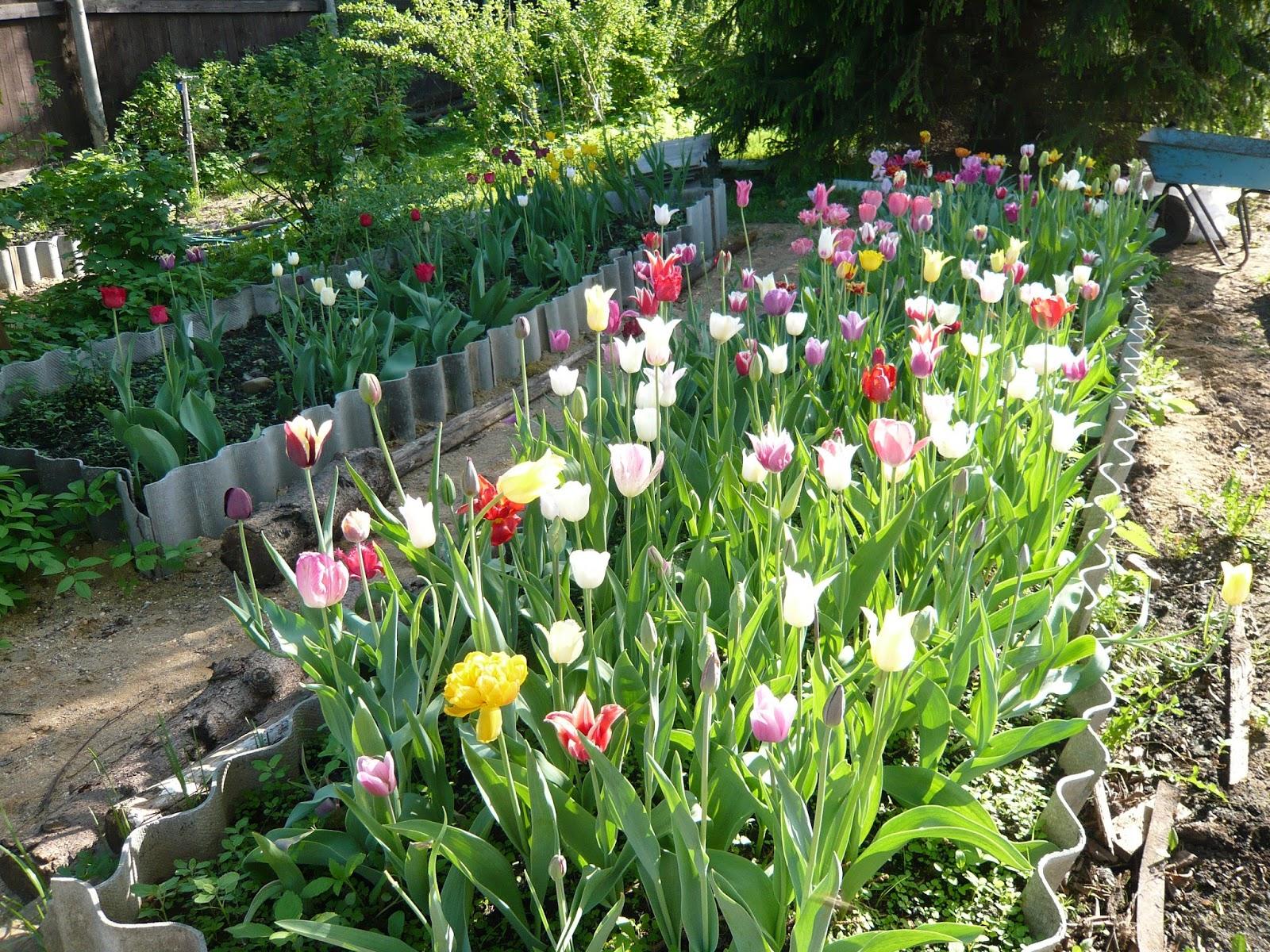 Тюльпаны под Москвой. Когда 7