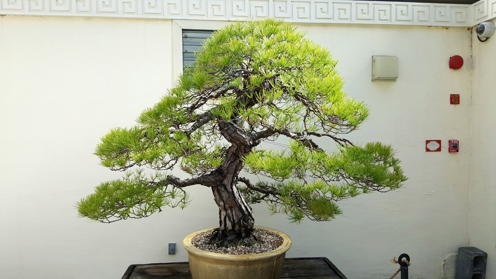 Bonsai Misadventures Cedar Of Lebanon Cedrus Libani Cutting The