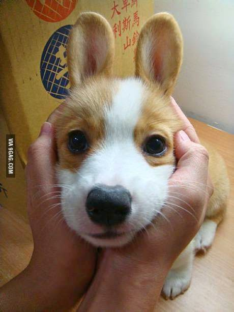 corgi with bunny ears, dog with bunny ears