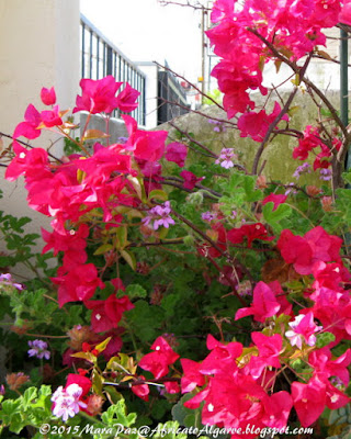 bougainvillea close-up