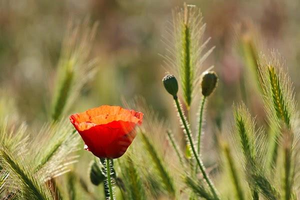 زهرة حمراء