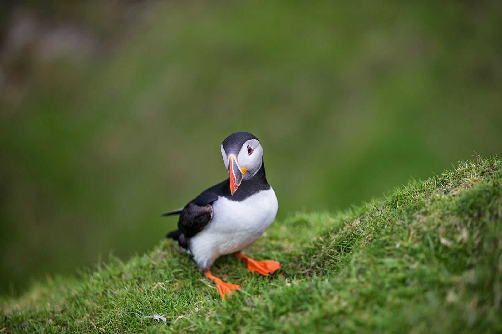 Puffins nest in coloni...