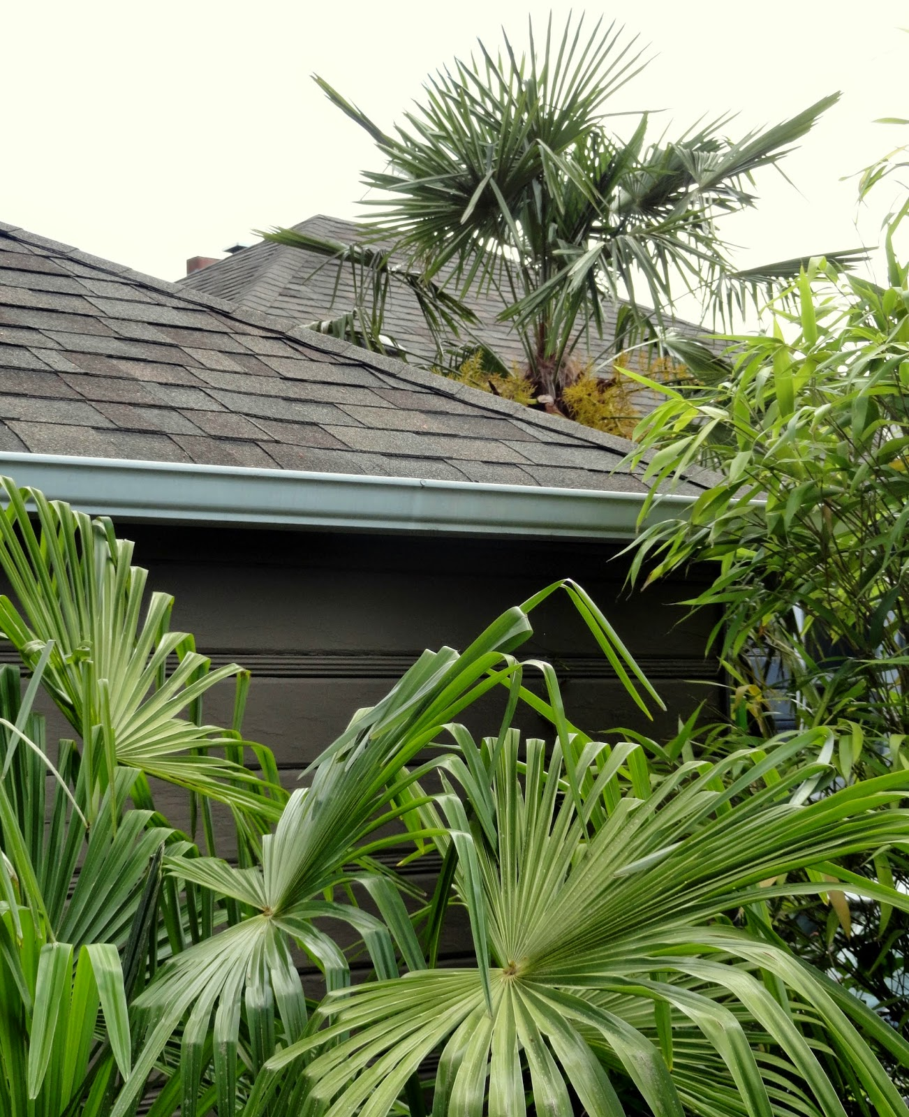 danger garden trachycarpus fortunei is my favorite plant in the garden this week. Black Bedroom Furniture Sets. Home Design Ideas